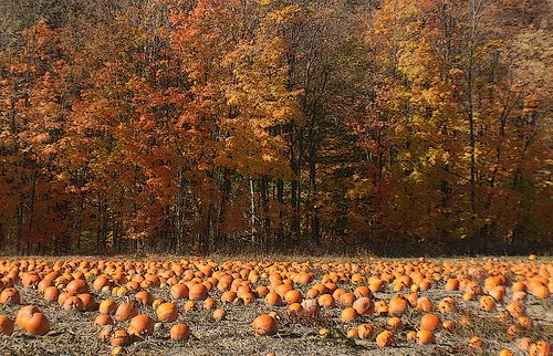every year, I wish for my very own pumpkin patch….then I truly could put pumpkins EVERYWHERE !!!