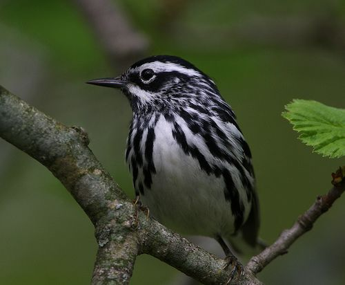 Black and White Warbler by Hard-Rain, via Flickr