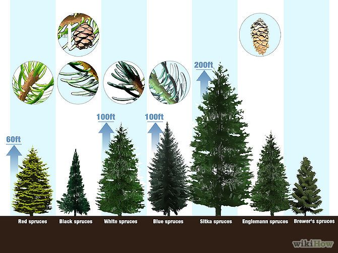 Identifying Spruce Trees Native to the United States
