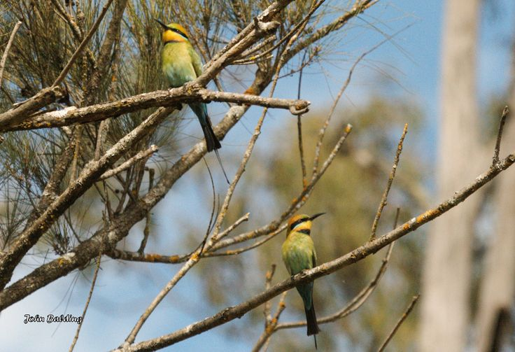 A pair of Rainbow Bee-eaters, relaxing after a feed at Capertee, NSW. The male (on upper branch) has a longer tail plume and narrower black throat band. They hunt bees, stunning them by beating them on a branch, then removing the sting by rubbing them against the branch.