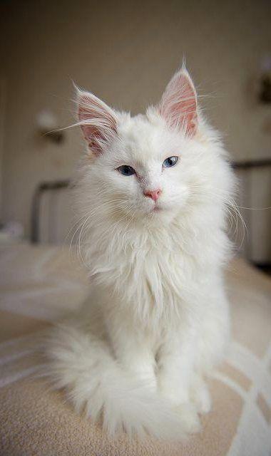 Diese Katze ist absolut die schönste. Diese Augen sind sehr glücklich mit dem …   – Katzen & Cat