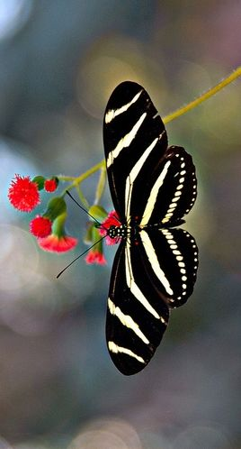 Bullfrogs and butterflies, both been ____ _____? Zebra Longwing (Heliconius charithonia)