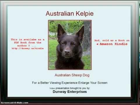 Kelpie (Australian Sheep Dog) Tips/Training Techniques! - YouTube