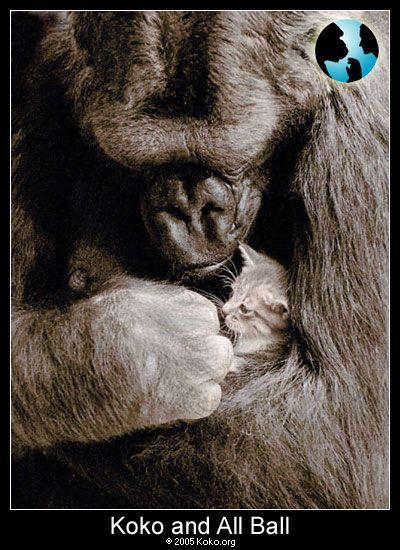 penny and koko the gorilla | Koko, Smoky and Penny