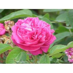 """Hidrosol Destilado de Rosa de Damasco Organico [ Agua de Rosas]  Destilado Puro y organico de Rosas de Damasco  A diferencia de algunas de las llamadas """"Agua de Rosas"""" que contienen agua, extracto de rosas y colorantes, nuestro Hidrosol es obtenido de las flores de la Rosa de Damasco o Rosa Damascena."""