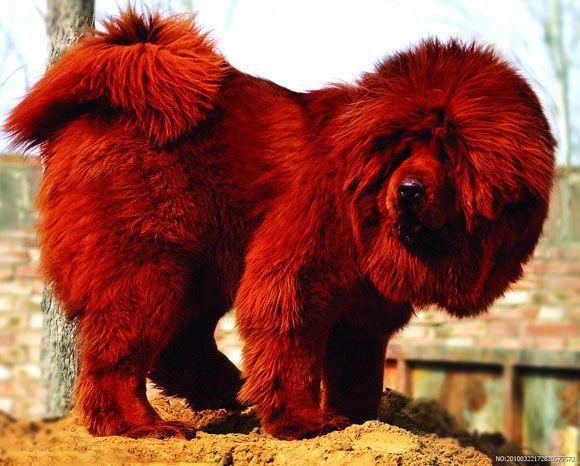 Red Tibetan mastiff ♥ Beautiful big dogs #dogs #pets #animals