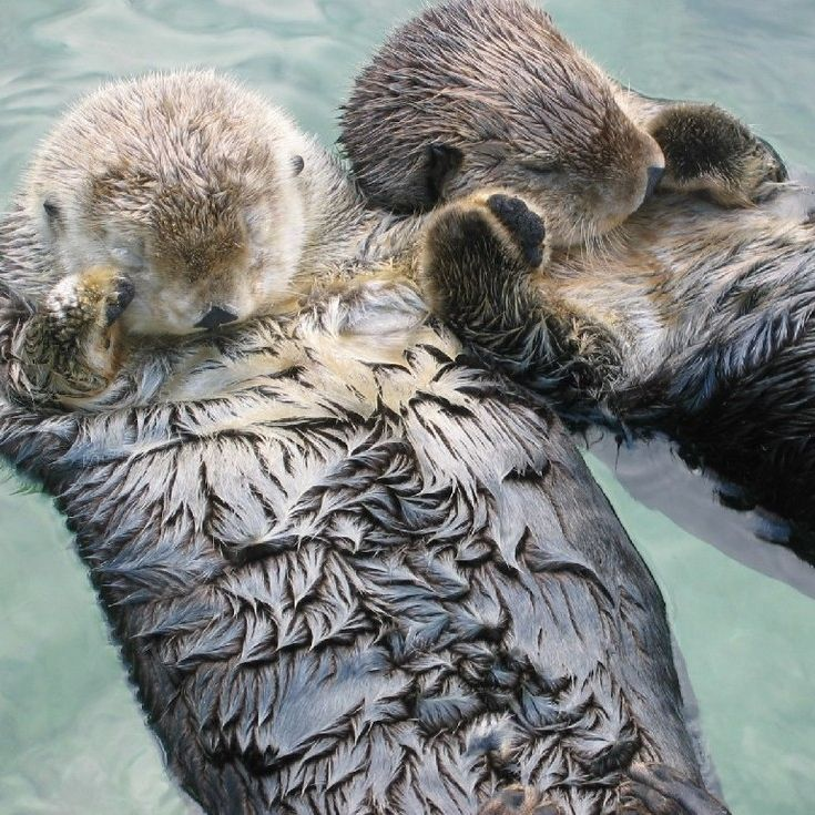 Otters hold hands when they're sleeping so they don't drift apart.