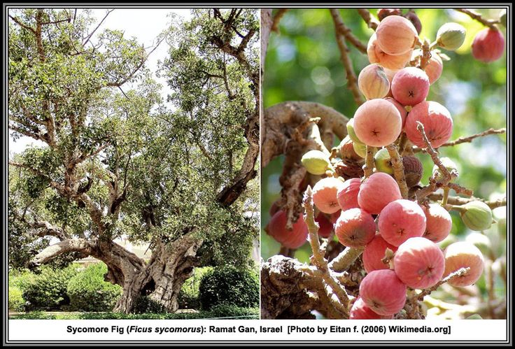 Figs Of The Holy Land