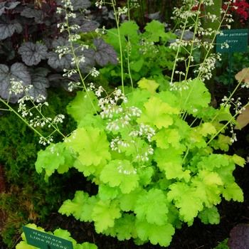 Heuchera 'lime rickey'. Good ground cover plant. Likes shade, easily divided for more plants.
