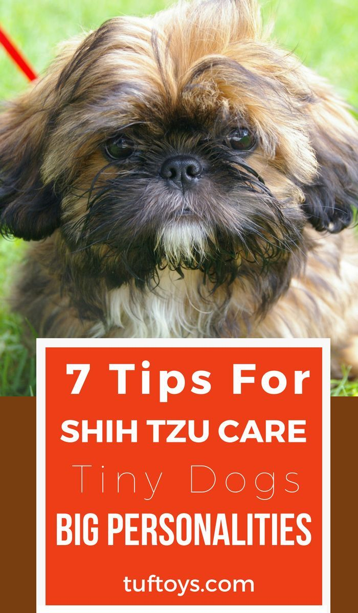 7 Top Tips For Shih Tzu Care Tiny Dogs Big Personalities Shih