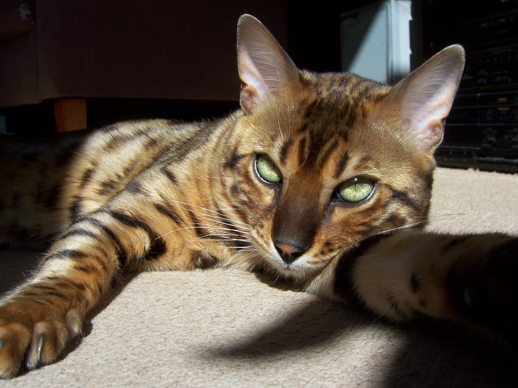 bengal cat...a hybrid breed of cat, formed by the cross of a domestic feline and an Asian Leopard Cat: Bengal Cats, Big Cats, Bengals Cats, Things, Bengal Cat A, Relaxing Wallpaper, Cats Wallpapers