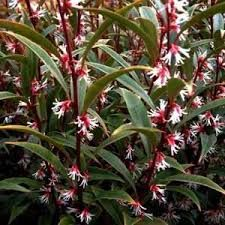 Image result for sweetbox plant