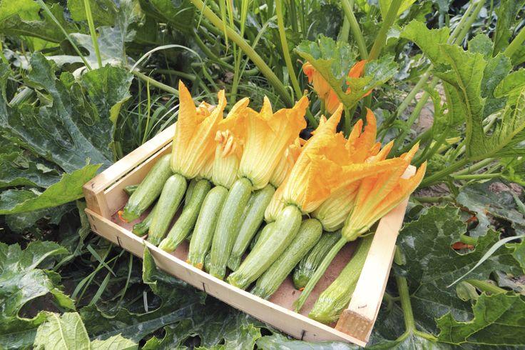 Come coltivare le zucchine in vaso - Le zucchine sono ricche di proprietà importanti per la salute: ecco come coltivarle in vaso sul balcone di casa