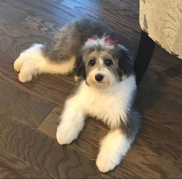 Reviews Testimonials Mini Doodle Dogs Sheepadoodle Puppy