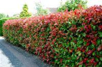 Achat Photinia x fraseri Red Robin jeune plante en godet - Vente en-ligne