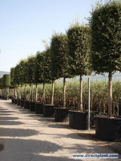 Steeneik (Quercus ilex )