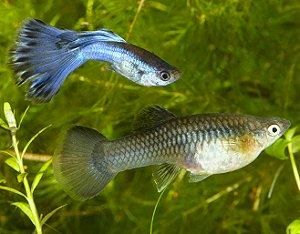 3 Ways to Tell if Your Fish Is Having Babies - wikiHow