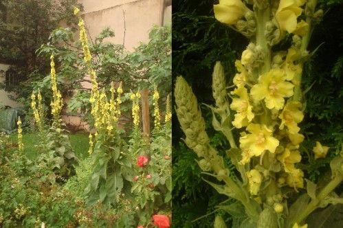 Un grand merci à Cathy pour sa recette !! C'est un des sirops de mon enfance, que faisaient déjà ma mère et ma grand-mère, un sirop des campagnes d'avant les sirops rouges, jaunes et verts... Le bouillon blanc est en fleur tout l'été. Les fleurs se cueillent...