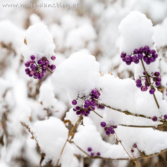 Schneezauber Im Garten In 2021 Alpenveilchen Schmetterlingsflieder Garten