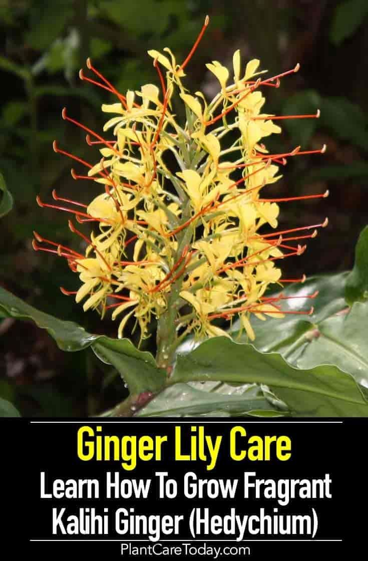 Ginger Lily Care How To Grow Kalihi Ginger In 2020 Lily Care Fragrant Flowers Lily Plants