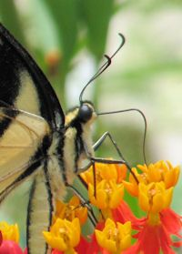 """The butterflies love Tropical milkweed.  This Tiger Swallowtail butterfly is enjoying a sip of nectar through his long """"straw""""."""
