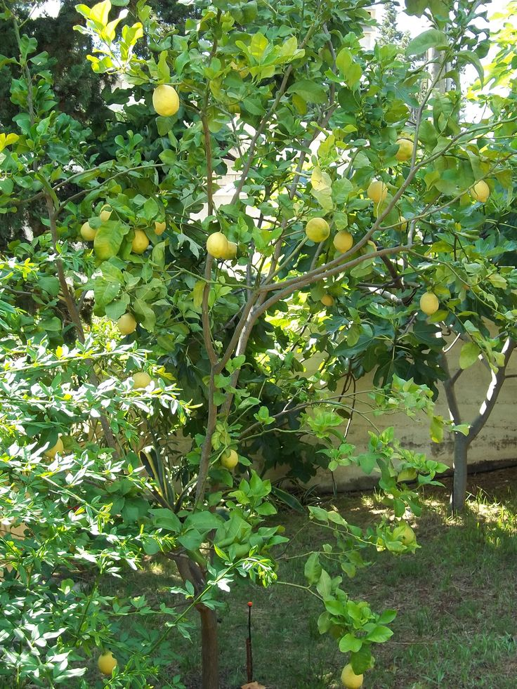 Lemon tree in my garden