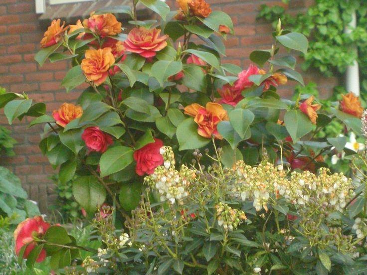 Wat een mooie Camellia.