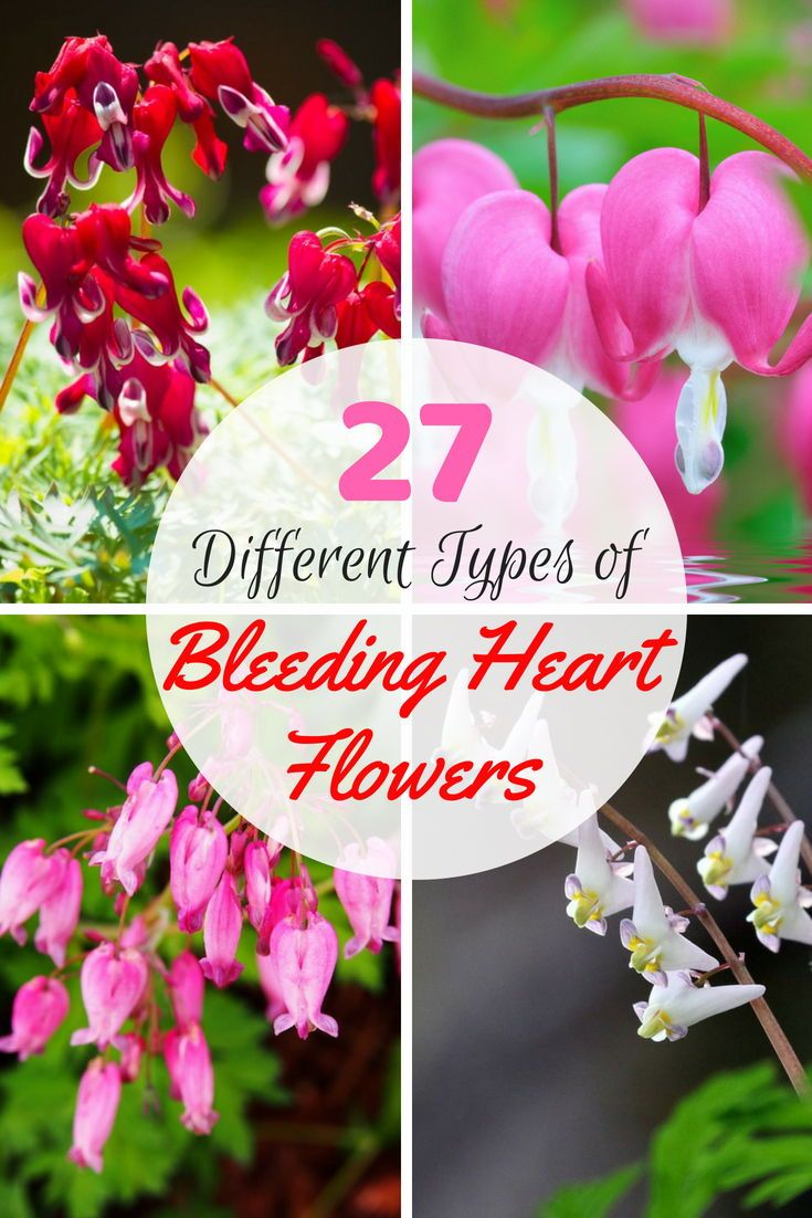 27 Different Types Of Bleeding Heart Flowers Bleeding Heart
