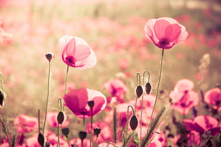 "Foto ""Papaveri rosa"" // Pink poppies photograph by @Ivana Lazzarini (Basicdesign-Ivana) via it.dawanda.com"