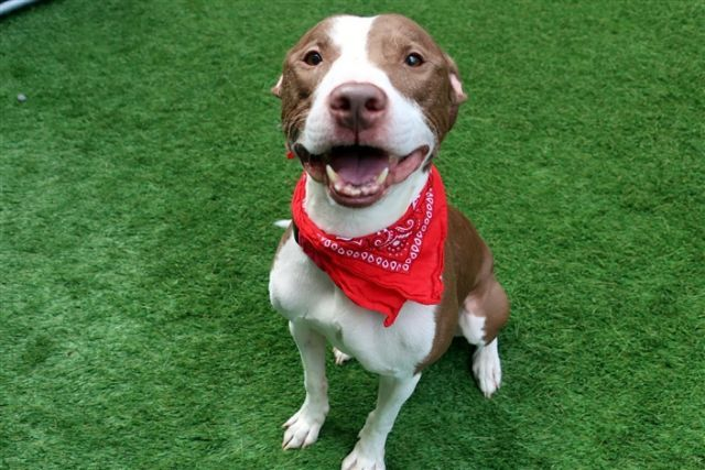 """SAMPSON - 10235 - - Manhattan  TO BE DESTROYED 11/02/17**ON PUBLIC LIST**A volunteer writes: What do you do when a dog just wants to cuddle and wiggle and says, """"I'd much rather be trying to fit in your lap than stand still for pictures""""? You go with it, abandon the picture taking and enjoy having this 44 pound snuggler wiggle on your lap! Sampson is a gorgeous boy, a bit too thin in my opinion, definitely thinks he's a lap dog, loves to give kisses"""