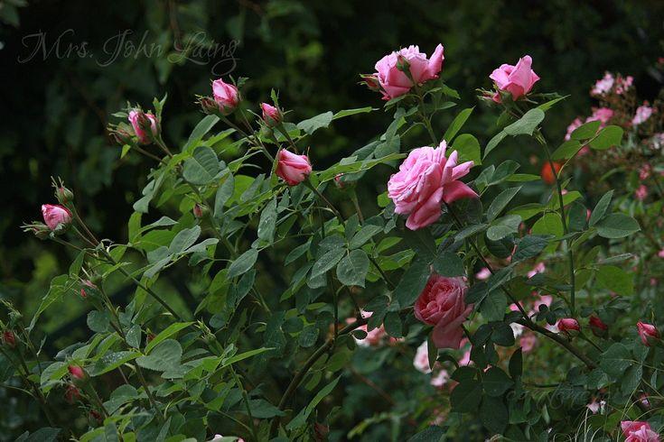 Forum Ogrodnicze Oaza :: Topic: Kulkowanie róż - odmiany, przykłady, własne doświadczenia (6/6)