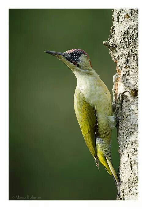 Groene specht aka a green European woodpecker.