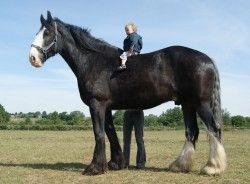 Le cheval de race Shire est un cheval d'origine Anglaise. Attention, il ne faut pas confondre le cheval Shire et le cheval Clydesdale ! C'est l'une des plus anciennes races de chevaux. Les p