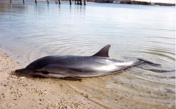 Cape Cod Animal Rescue Part - 43: For Marine Mammal Strandings On Cape Cod (IFAW)u0027s Hotline At (508)  743-9548..more  Info....http://nmlc.org/rehabilitation/what-you-can-do-for-a-strau2026