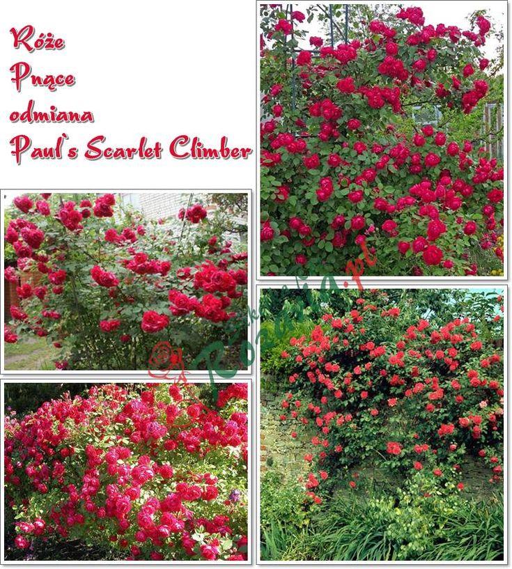 czerwone róże pnące pauls scarlet climber