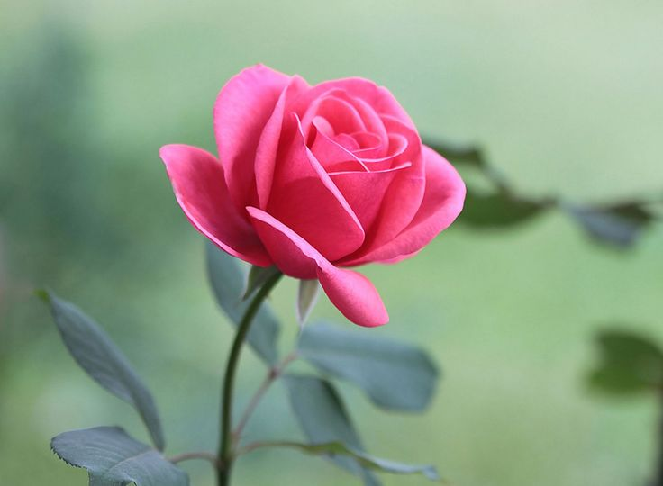 Rose Images HD For Free Download http://freeimagespictures.org/rose-images-hd-for-free-download/