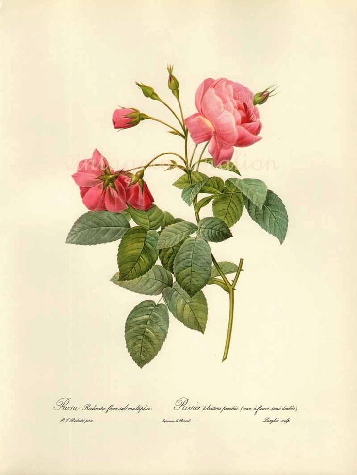 Antique Botanical print ROSA RECLINATA Redoute 1963 garden flowers art, vintage botanical rose flowers bookplate art print.