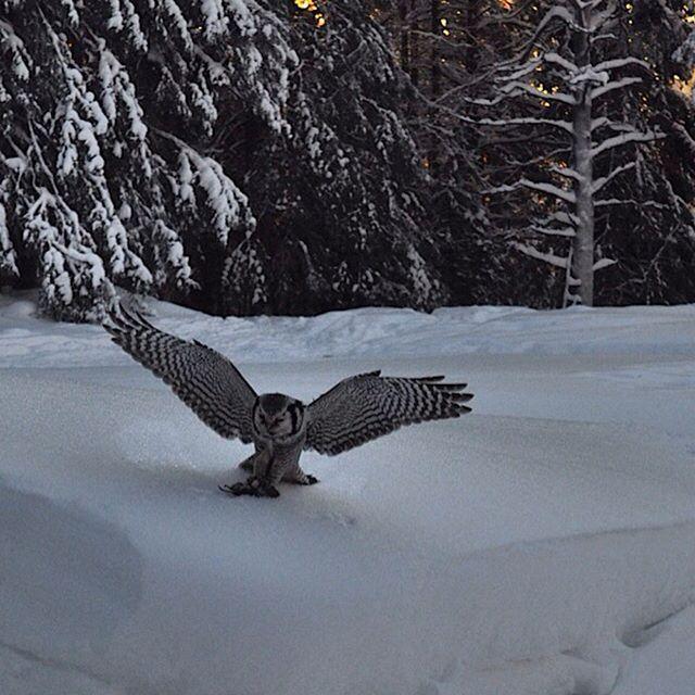 Hökugglan jagar sork runt gården men säger inte nej när det bjuds på ett gratismål mat. #gällivare #lappland #swedish lapland #norrland #natur #nature #vinter #winter #uggla