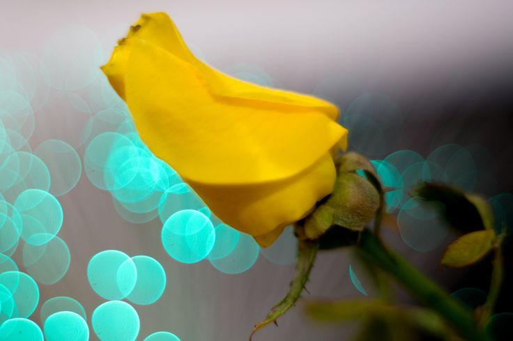 Yellow Rose in the Blue Bokeh ...