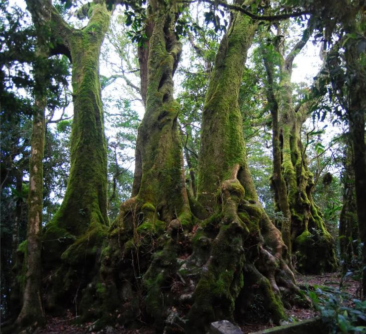 Antarctic Beeches.These extraordinary trees are hundreds of years old - national treasures!