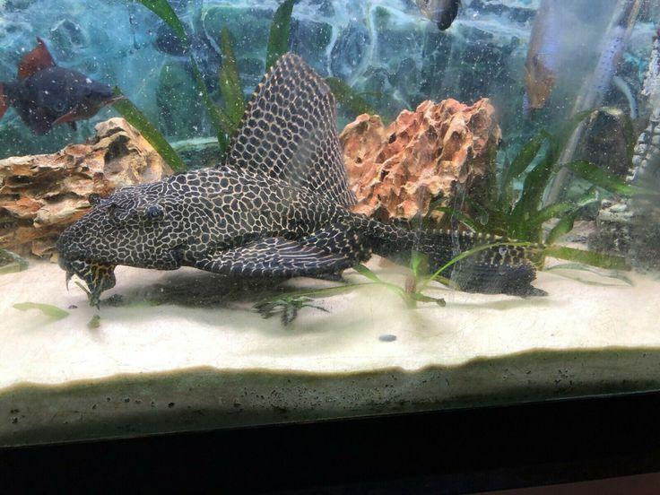 Common Pleco Catfish Tropical Fish Aquarium Catfish Tank Species