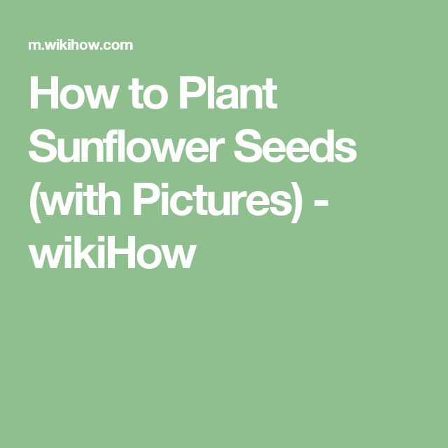 How to Plant Sunflower Seeds (with Pictures) - wikiHow