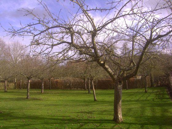 Verger à la Normande:  En effet, depuis longtemps la couronne et ses charpentières sont élaborées donnant ces allures caractéristiques d'arbres élevés de verger de plein-vent. . . sans les mains expertes d'un jardinier retournent à l'état sauvage en peu de temps. . . et de surcroît gênantes pour le passage sous l'arbre en raison de cette posture courbée vers le sol. . .