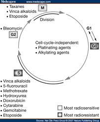 chemotherapy cell cycle - Google Search