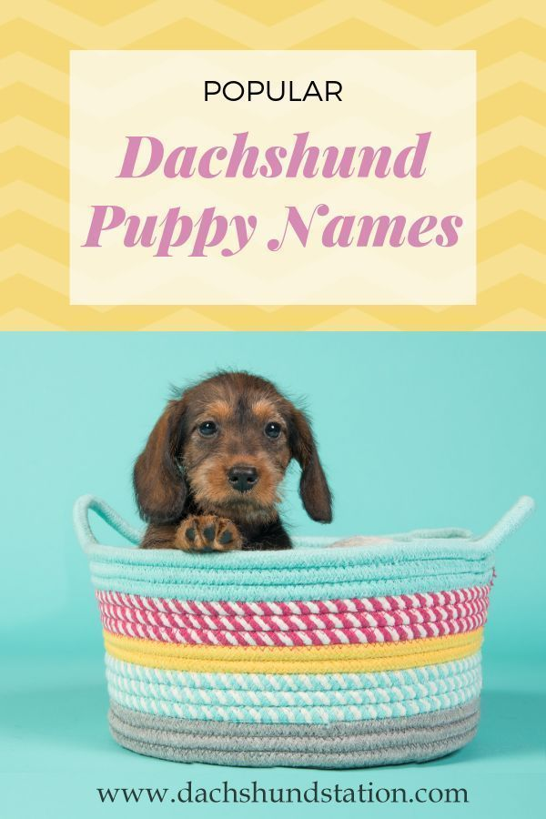 Best Dachshund Names Of 2020 Puppy Names Dog Names Dachshund