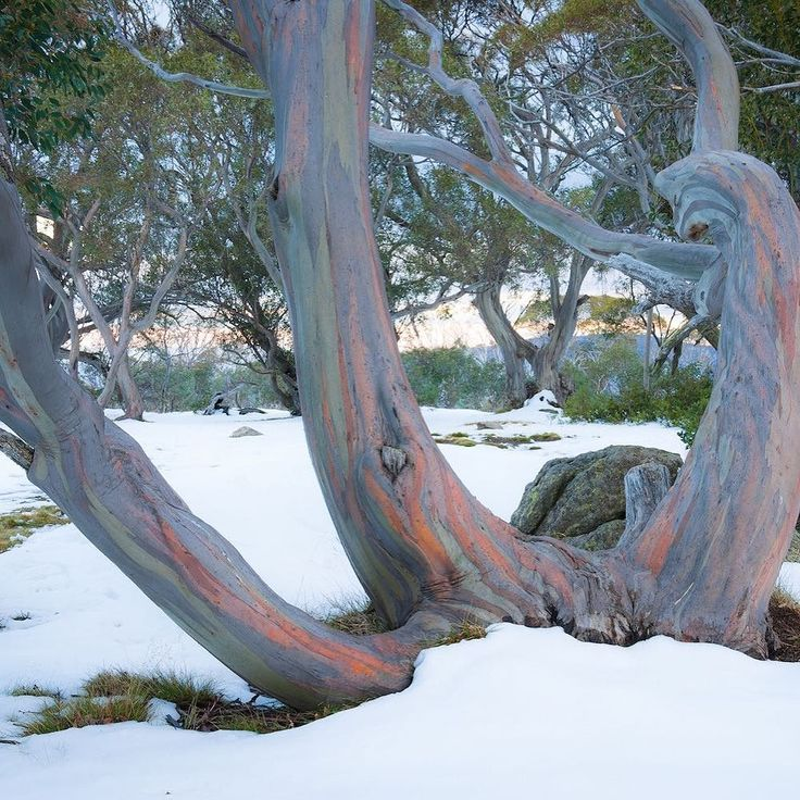 Ah the elusive Australian winter?? I know snow is so minimal in Oz but this image of beautiful native Snow Gums surrounded by snow was too beautiful not to share. And as quite the opposite of an antipodean MY version of a cold winter is the chill of the UK. So this is a call out to the Puggle Posse - what does the Australian winter mean to you? . . . . . #PugglePost #Australiana #PugglePosse #DefininingAustraliana #AustralianWinter #SnowGums #WinterinAustralia #SnowyMountains…