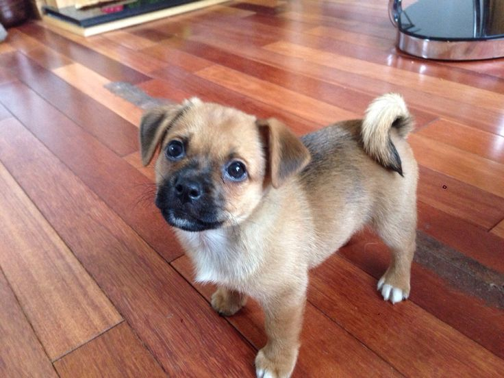 Jack Russell/Pug puppy