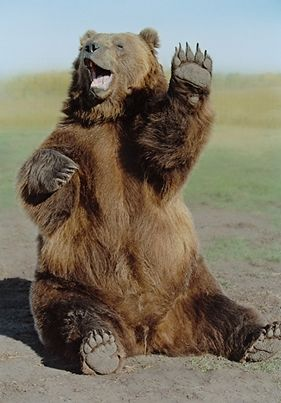 funny grizzly bears - Google Search