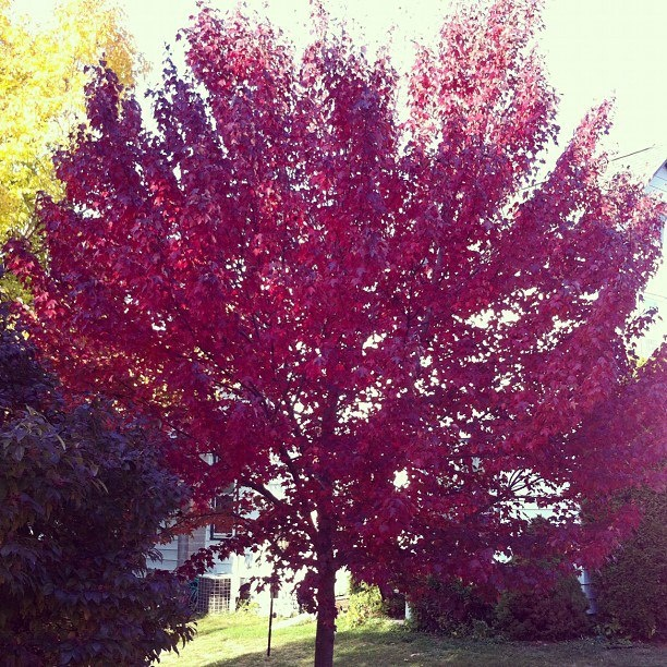 20 Cheap Ways To Improve Curb Appeal If You Re Selling: Burgundy Belle Maple