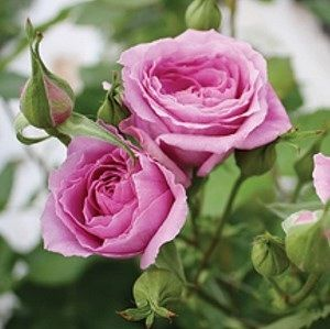 12 best a perri farms spray garden roses images on